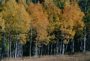 image of aspens